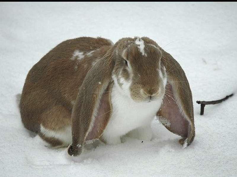 Conejo Enano 2