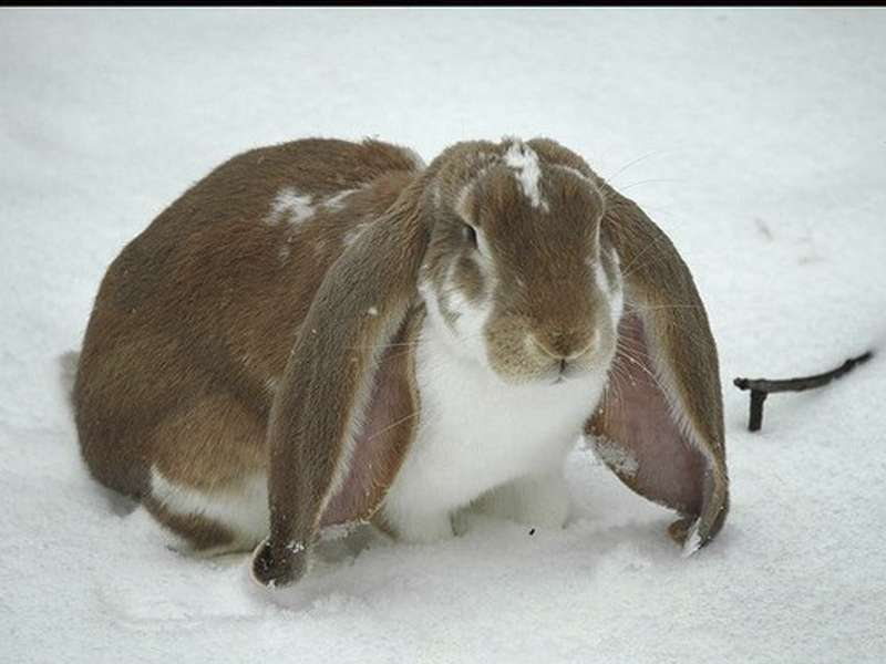 Conejo Belier 2