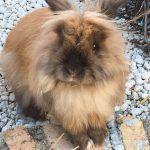 Conejo cabeza de león 10
