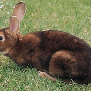 Conejo Rex