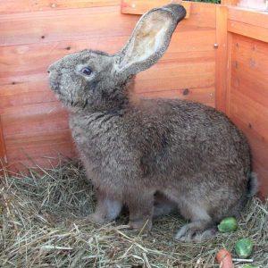 Conejo Gigante de Flandés
