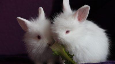 Conejitos-blancos-comiendo
