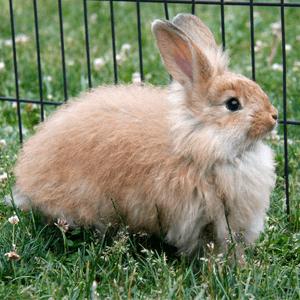 Todo sobre el conejo Angora 1