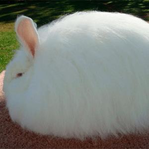 Todo sobre el conejo Angora 4