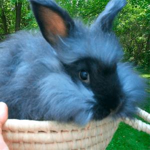 Todo sobre el conejo Angora 2