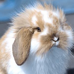foto de conejoa cabeza de león lop