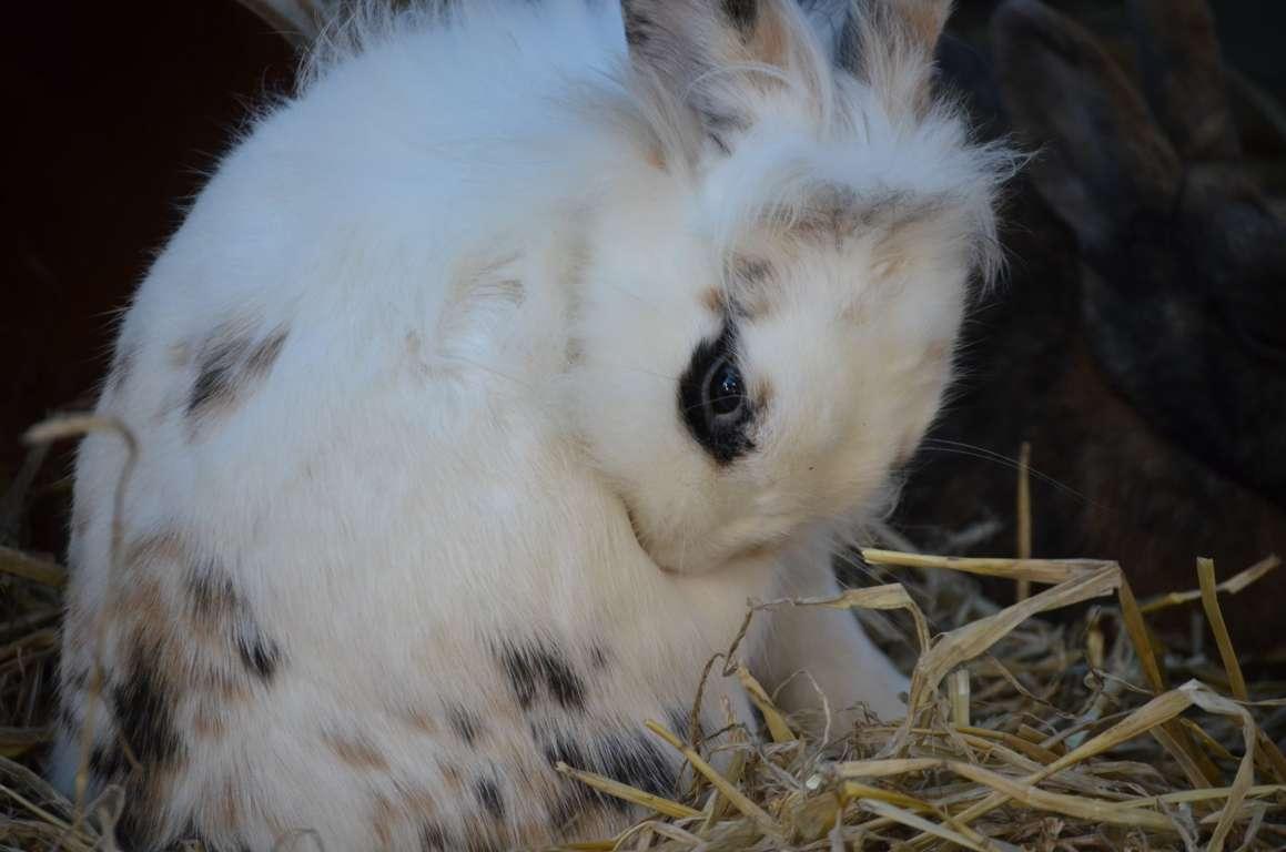 Cepillado de los conejos Angora 3
