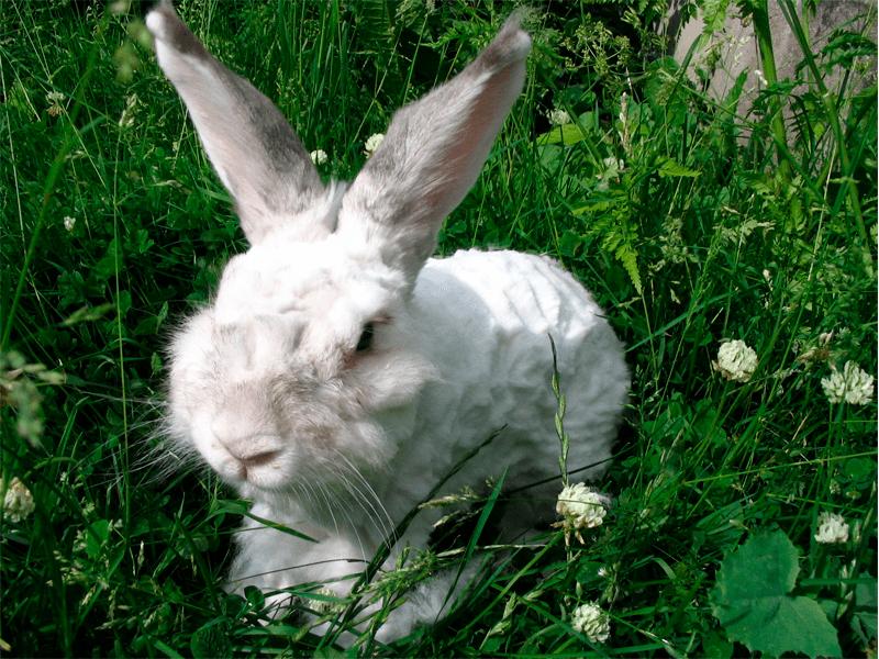 conejo-angora-sin-pelo