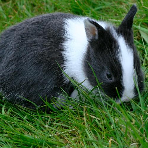 Conejo Enano 1