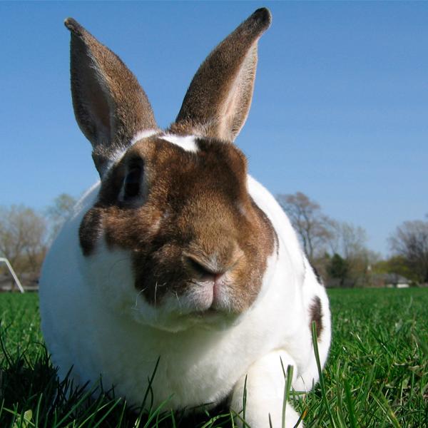conejo-rex-blanco