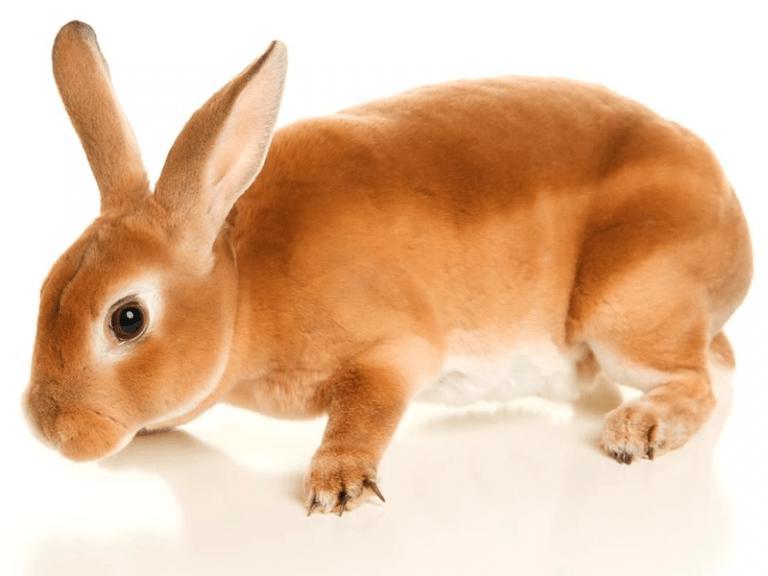 Razas de Conejos ? 33