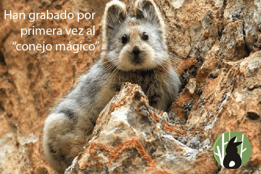 """Han grabado por primera vez al """"conejo mágico"""" 1"""