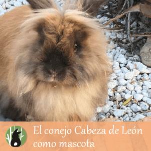 El conejo cabeza de león como mascota