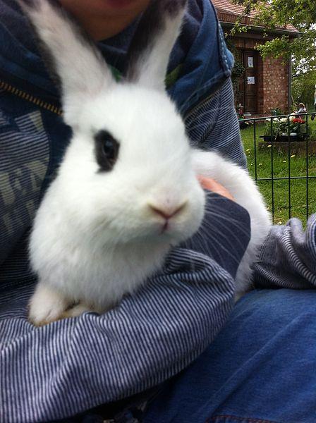 Todo sobre el conejo hotot 1