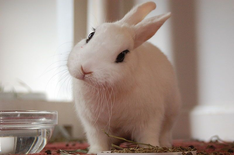 Todo sobre el conejo hotot