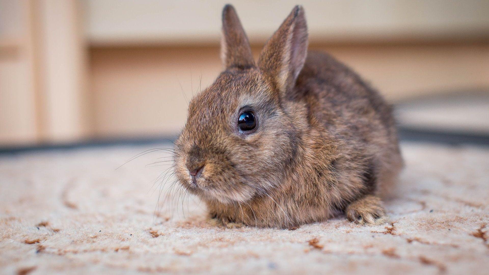 ¿Qué comen los conejos domésticos? 1