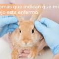 Síntomas que indican que mi conejo esta enfermo 45