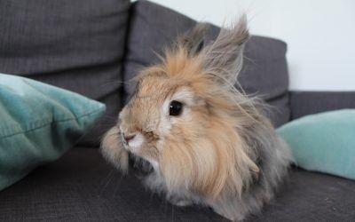 Todo sobre el conejo Angora