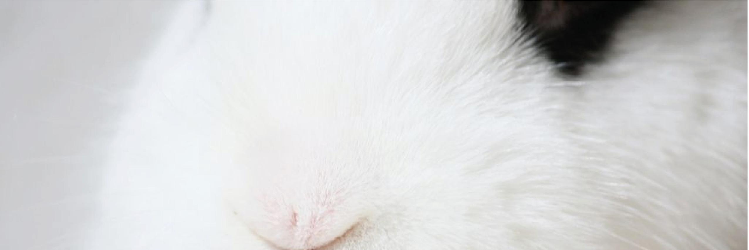 conejo blanch de hotot