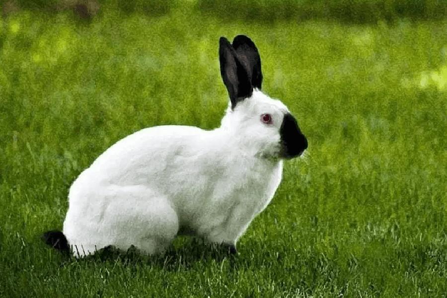 Conejo Californiano 1